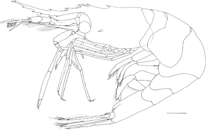 Hình vẽ chưa tô màu con tôm cho bé tập tô (2)