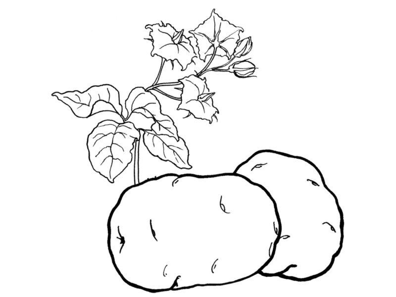 Hình vẽ đen trắng củ khoai lang cho bé tập tô (3)