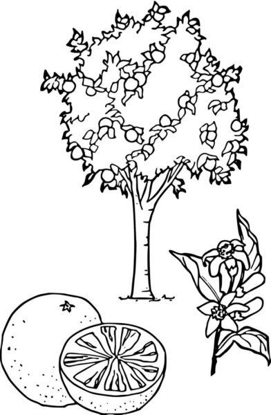 Hình vẽ đen trắng quả cam cho bé tô màu (1)