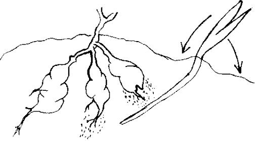 Mẫu tranh tô màu củ khoai lang đơn giản cho bé tập tô (2)