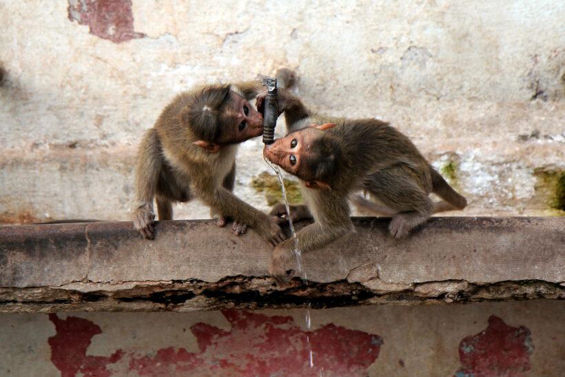 tải ảnh khỉ đang uống nước