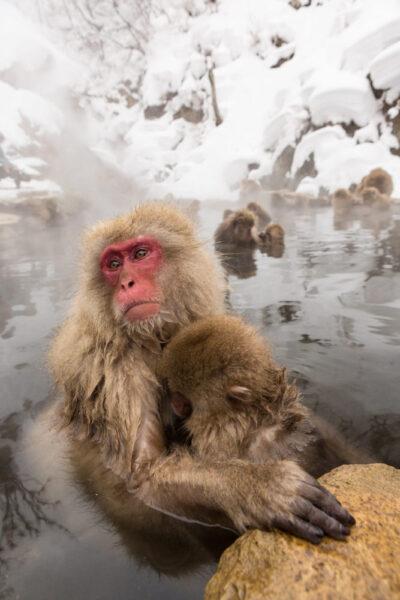 tải hình con khỉ đang ở dưới nước
