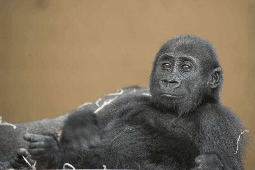 tải hình con khỉ đen