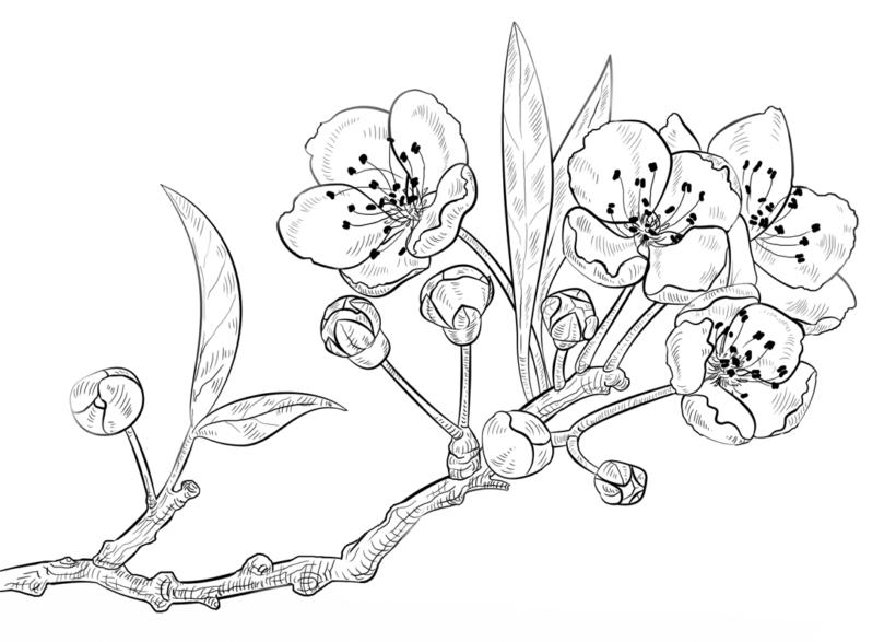 Tranh tô màu hoa mai đẹp cho bé tập tô (8)