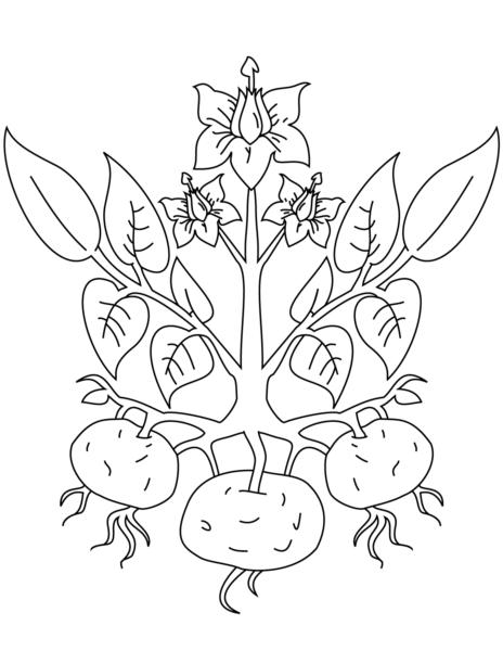Tranh vẽ chưa tô màu củ khoai lang đơn giản cho bé tập tô (11)