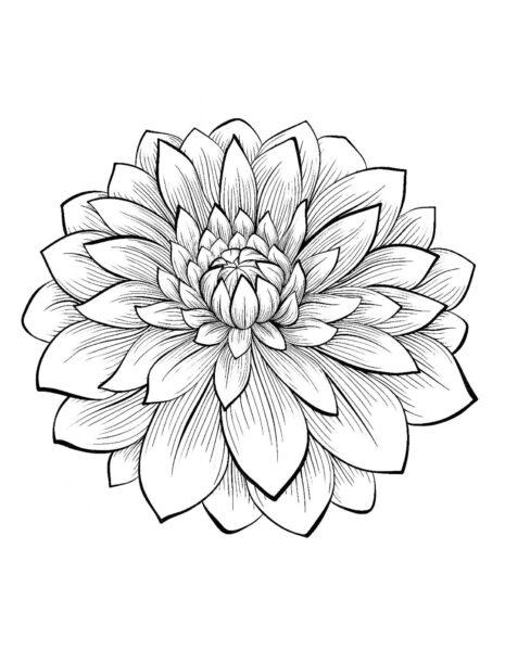 Tranh vẽ chưa tô màu hoa cúc cho bé tập tô (1)