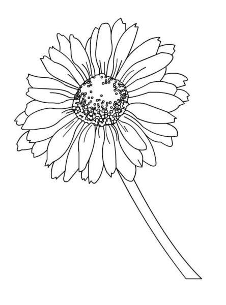 Tranh vẽ chưa tô màu hoa cúc cho bé tập tô (2)