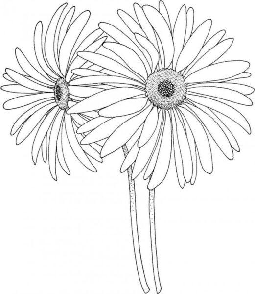 Tranh vẽ chưa tô màu hoa cúc cho bé tập tô (3)