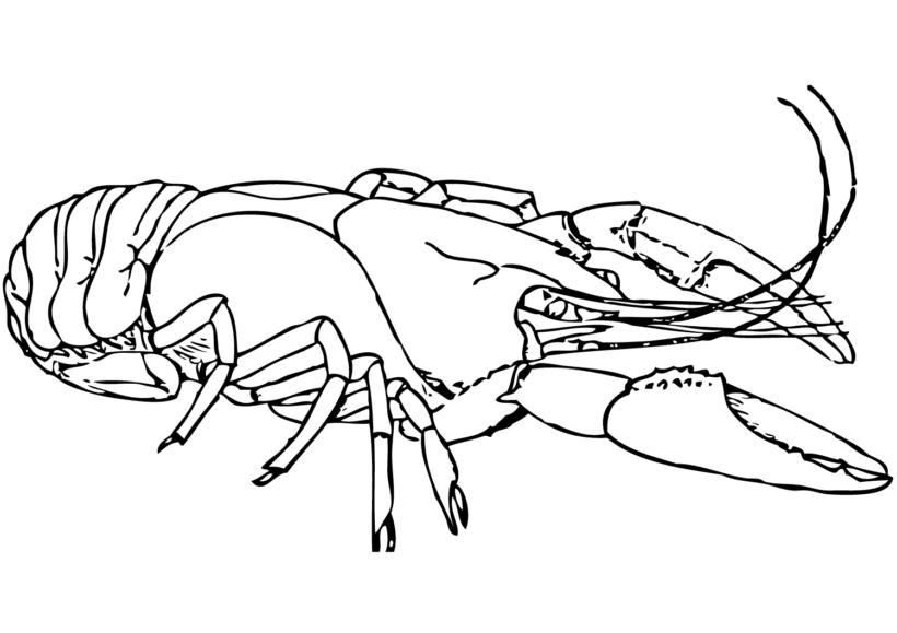 Tranh vẽ đen trắng con tôm cho bé tô màu (4)