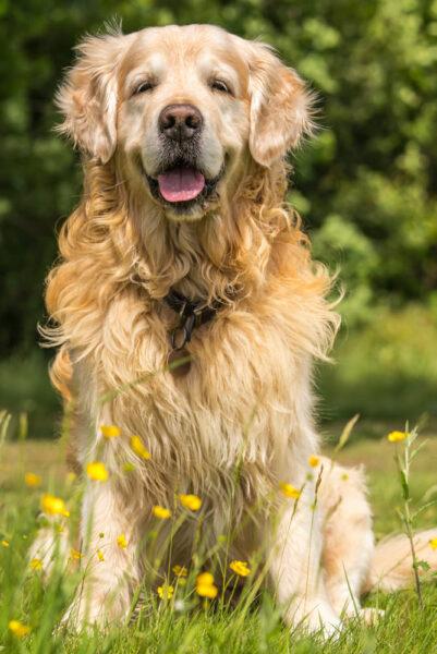 ảnh chó Golden đẹp nhất trên đồng cỏ