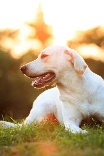 ảnh chó Golden trên đồng cỏ lúc bình minh
