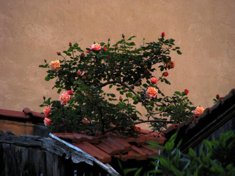 Ảnh hoa hồng leo đẹp trên mái nhà