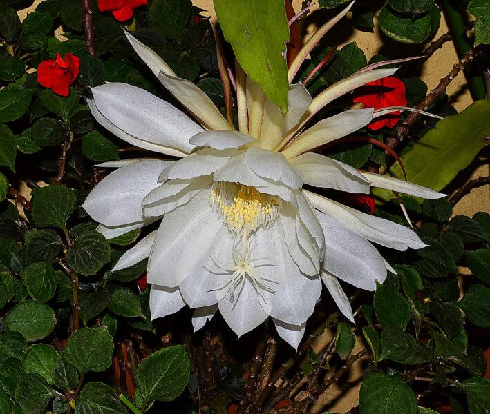 Ảnh hoa quỳnh đẹp trong bụi