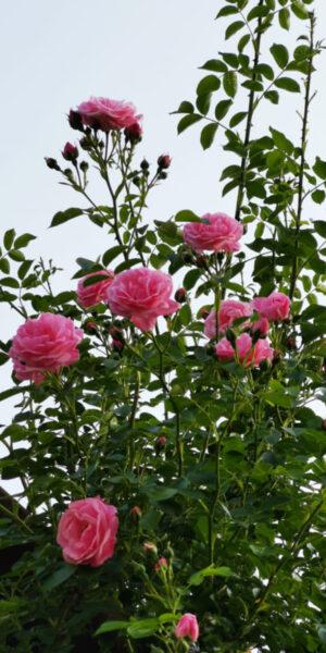 Các loại hoa hồng leo đẹp