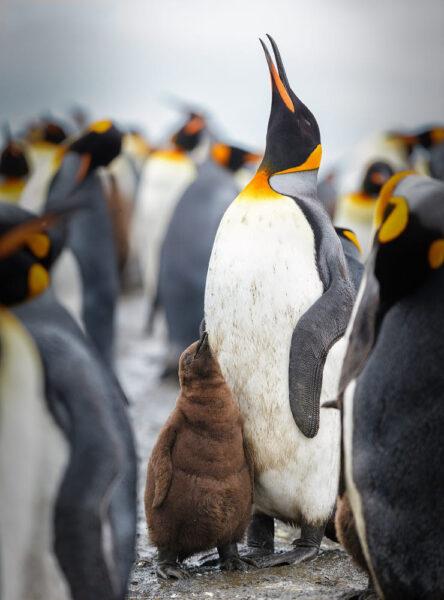 cánh cụt cute ngước lên trời
