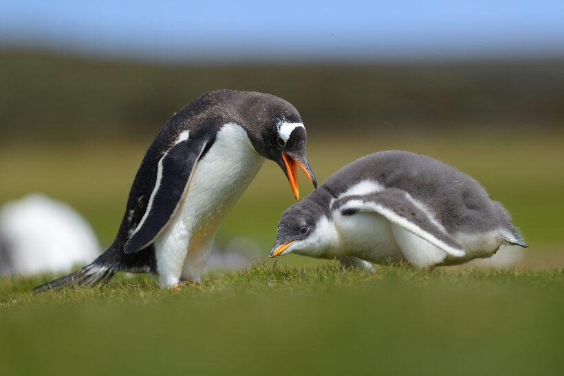 hình ảnh 2 con chim cánh cụt