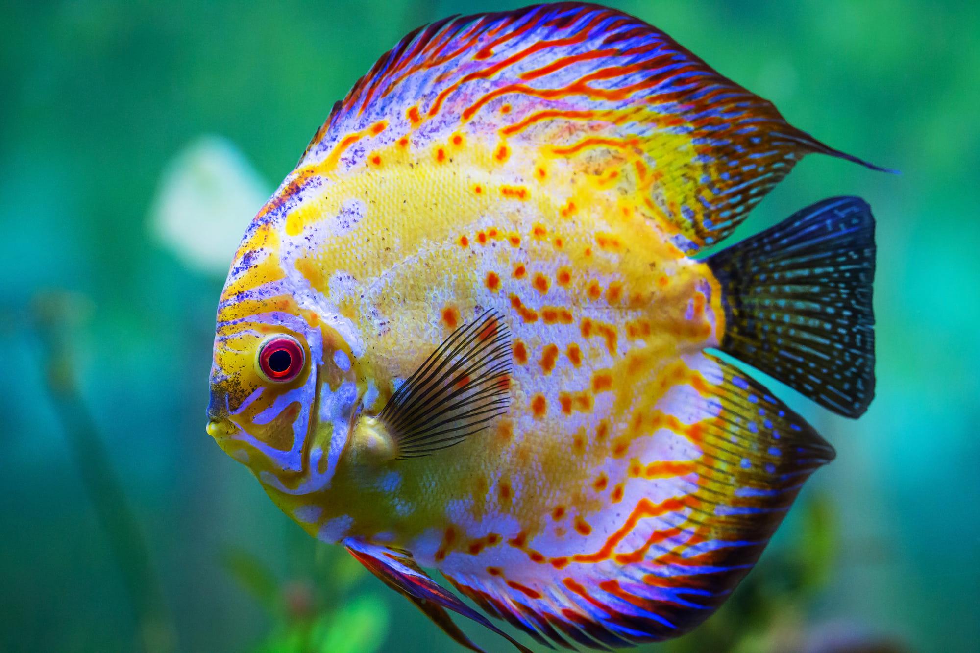 hình ảnh cá cảnh đẹp thuộc cá dĩa đẹp nhất