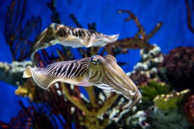 hình ảnh cá mực