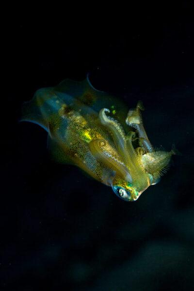 hình ảnh cá mực đáng yêu