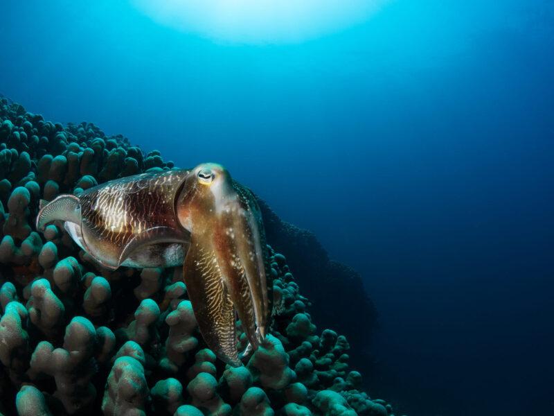 hình ảnh cá mực khổng lồ đang bơi