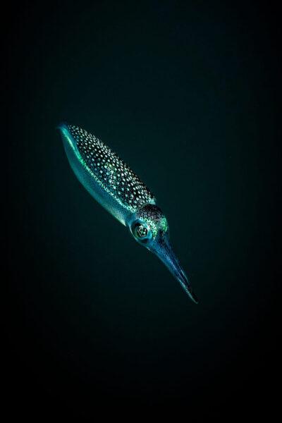 hình ảnh cá mực phát ánh sáng vào ban đêm