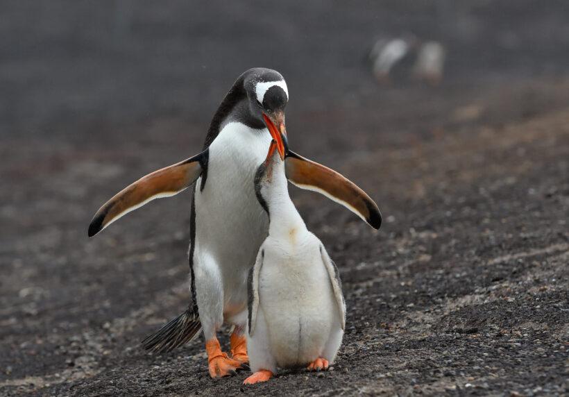 hình ảnh cánh cụt cute, sinh động trên vách đá