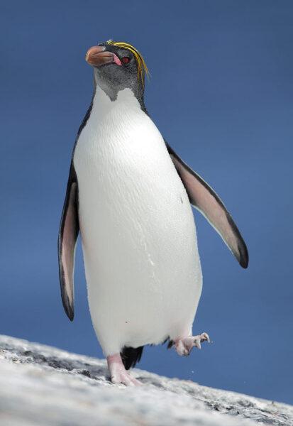 hình ảnh cánh cụt đi trên tuyết