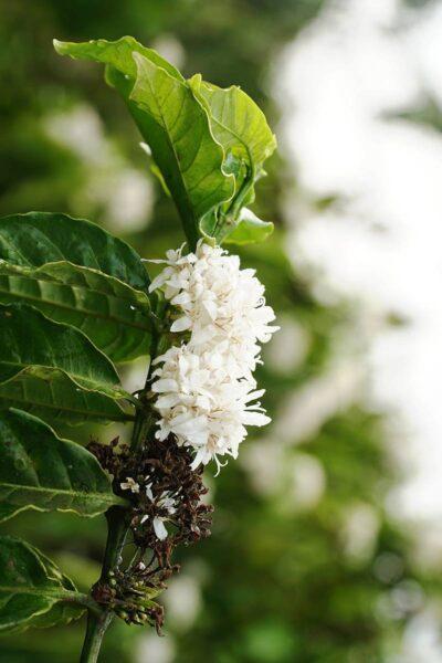 Hình ảnh cành hoa cà phê đang nở