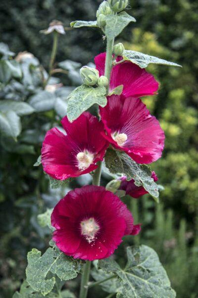 HÌnh ảnh cành hoa mãn đình hồng đẹp