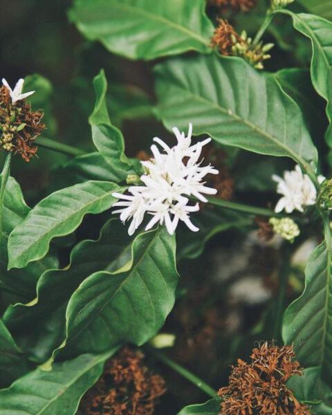 Hình ảnh cây hoa cà phê Tây Nguyên