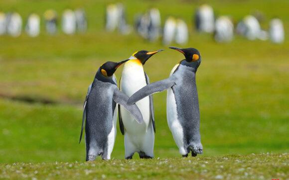 hình ảnh chim cánh cụt