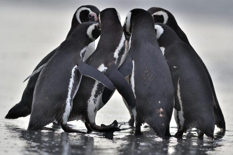 hình ảnh chim cánh cụt chụm lại theo đàn