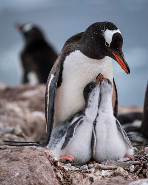 hình ảnh chim cánh cụt cùng 2 đứa con