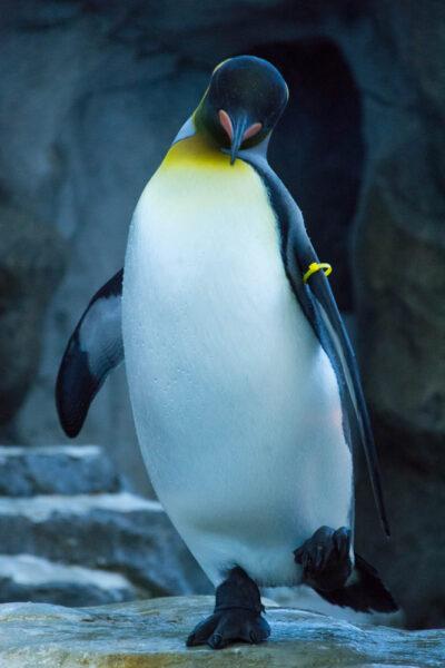 hình ảnh chim cánh cụt hoàng đế cận cảnh
