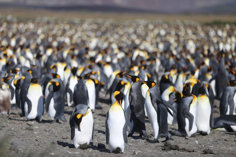 hình ảnh chim cánh cụt theo đàn đông đúc