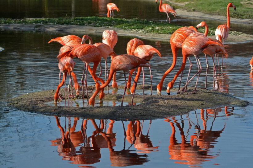 hình ảnh chim hồng hạc đang tìm thức ăn theo đàn