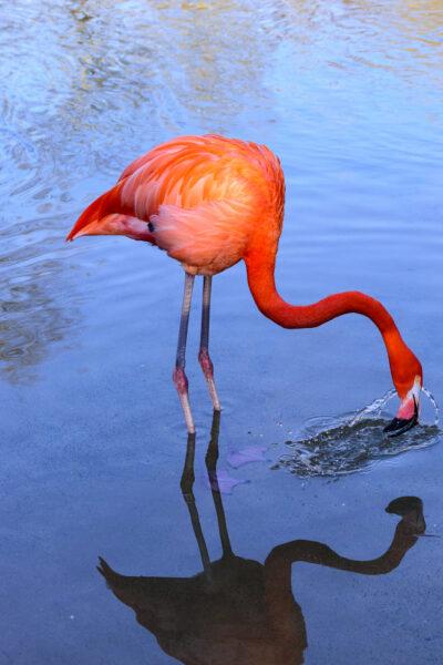 hình ảnh chim hồng hạc kiếm ăn dưới nước đẹp