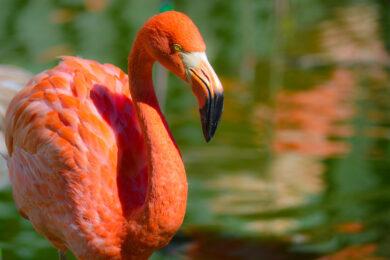 hình ảnh chim hồng hạc với bộ lông hồng đậm mê ly