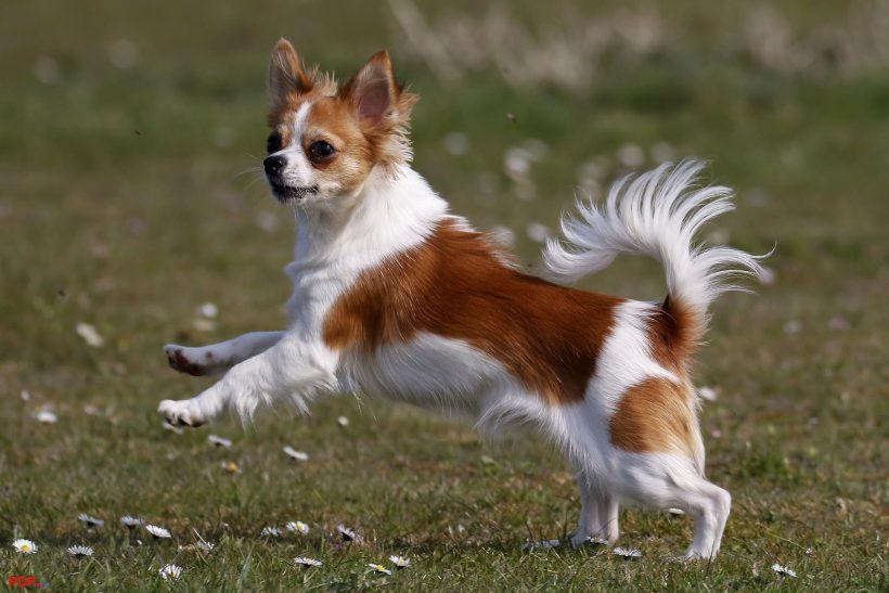 hình ảnh chó chihuahua