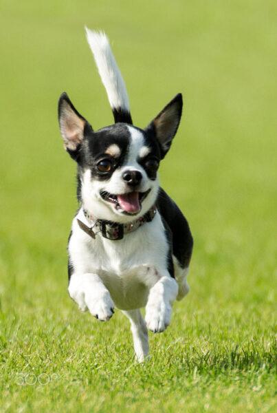 hình ảnh chó chihuahua chạy trên đồng cỏ xanh