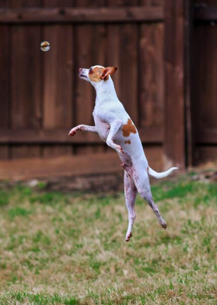 hình ảnh chó chihuahua đang chơi đùa bắt bóng nước