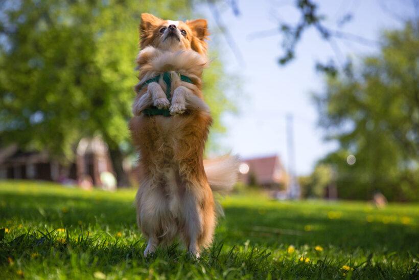 hình ảnh chó chihuahua đang đứng 2 chân để chào