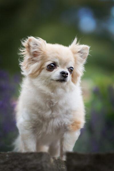 hình ảnh chó chihuahua đáng yêu nhất