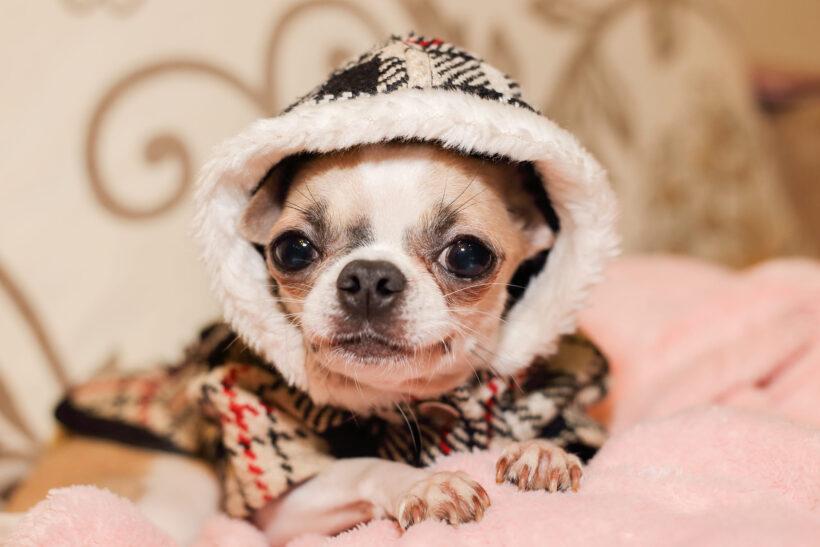 hình ảnh chó chihuahua mặc áo ấm đẹp đang nằm trên giường