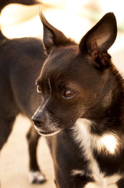 hình ảnh chó chihuahua màu đen dễ thương