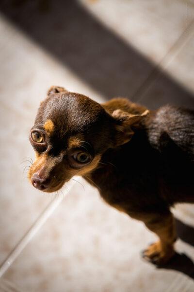 hình ảnh chó chihuahua màu đen đẹp nhất