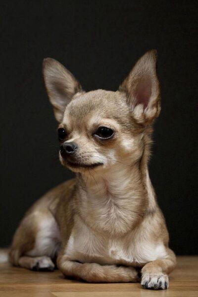 hình ảnh chó chihuahua màu nâu đẹp nhất
