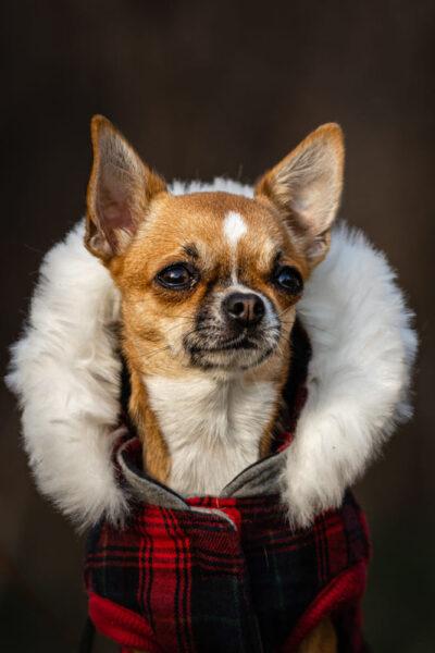 hình ảnh chó chihuahua với đôi mắt buồn