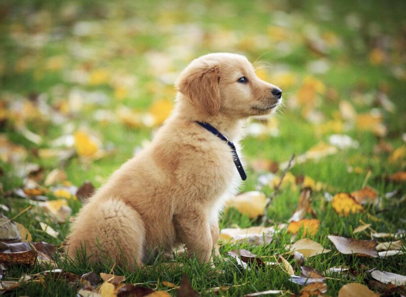hình ảnh chó Golden con đáng yêu
