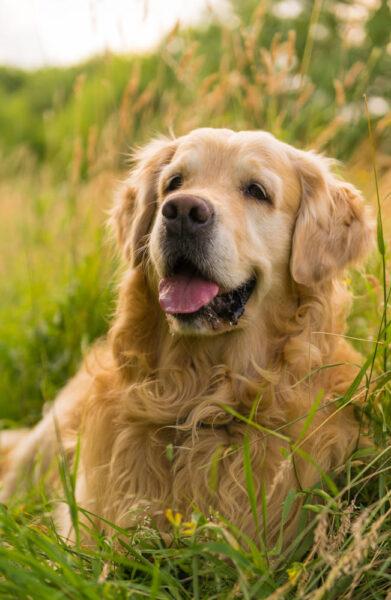 hình ảnh chó Golden đáng yêu bên những đồng cỏ